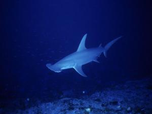 Great Hammerhead Shark, Rangiroa, Polynesia by Gerard Soury