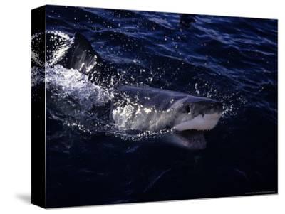 Great White Shark, Surfacing, South Australia