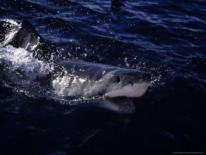 Great White Shark, Surfacing, South Australia by Gerard Soury