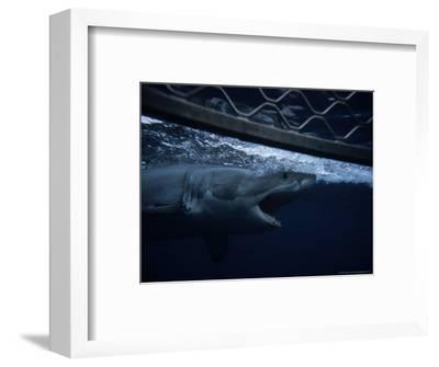 Great White Shark, Swimming by Cage, S. Australia