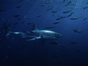 Great White Shark, Swimming, Pacific by Gerard Soury