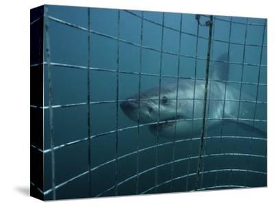 Great White Shark, With Cage, S. Africa