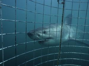 Great White Shark, With Cage, S. Africa by Gerard Soury