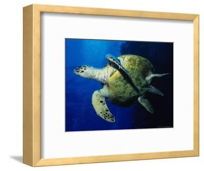 Hawksbill Turtle, Swimming, Red Sea