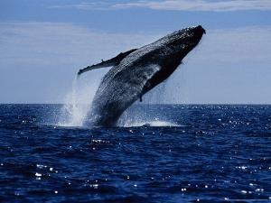 Humpback Whale, Breaching, Sea of Cortez by Gerard Soury