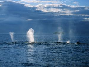 Humpback Whales, a Row of Blows, USA, Pacific Ocean by Gerard Soury