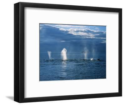Humpback Whales, a Row of Blows, USA, Pacific Ocean