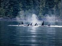 Walrus, Sunbathing, Nunavut, Canada-Gerard Soury-Photographic Print