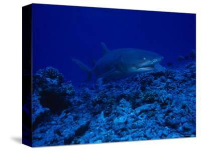 Lemon Shark, Swimming, Polynesia