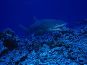Lemon Shark, Swimming, Polynesia by Gerard Soury