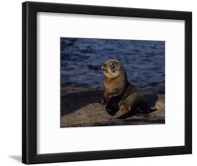 New Zealand Fur Seal, Young, South Australia