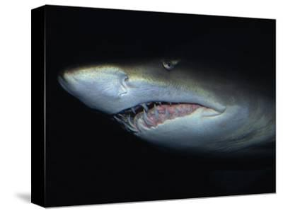Sand Tiger Shark, Mouth, Australia