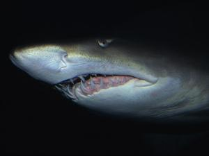 Sand Tiger Shark, Mouth, Australia by Gerard Soury