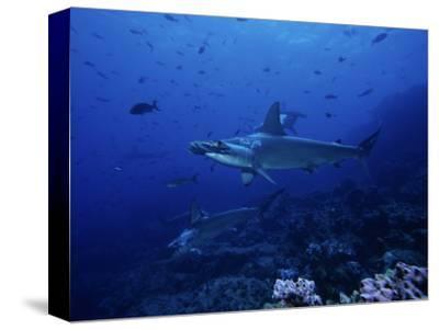 Scalloped Hammerhead Shark, Group, Galapagos