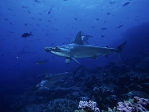 Scalloped Hammerhead Shark, Group, Galapagos by Gerard Soury