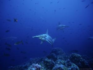 Scalloped Hammerhead Shark, Group, Pacific by Gerard Soury