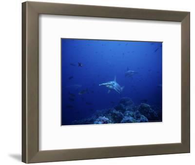 Scalloped Hammerhead Shark, Group, Pacific