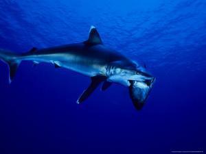 Silvertip Shark, Feeding, Polynesia by Gerard Soury