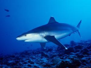 Silvertip Shark, Swimming, Polynesia by Gerard Soury