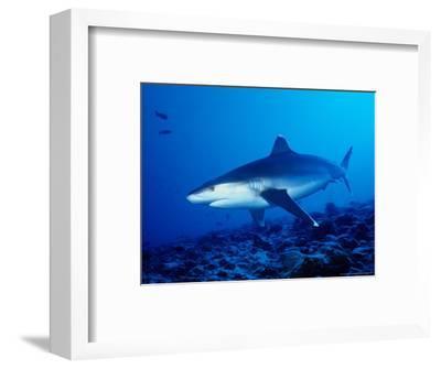 Silvertip Shark, Swimming, Polynesia