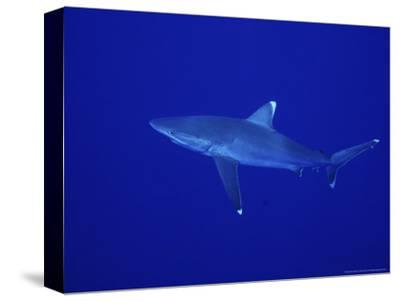 Silvertip Shark, Swimming, Tuamotu, French Polynesia