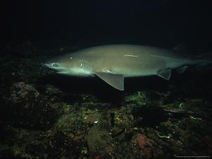Sixgill Shark, Swimming, BC, Canada by Gerard Soury