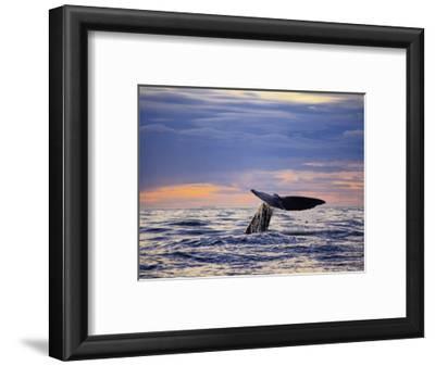 Sperm Whale, Raising Flukes, New Zealand