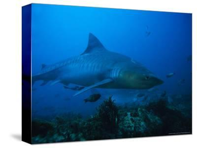 Tiger Shark, Swimming, South Africa
