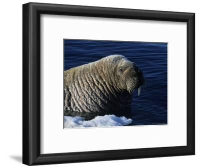 Walrus, Baffin Island, Canada