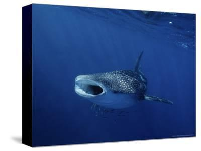 Whale Shark, Feeding, Australia