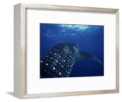 Whale Shark, Underwater, Caribbean, Atlantic Ocean