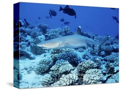 Whitetip Reef Shark, Swimming, Polynesia