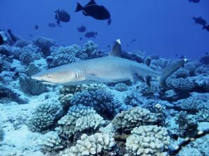 Whitetip Reef Shark, Swimming, Polynesia by Gerard Soury