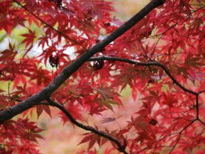 Maple Tree in Autumn Colours, Arishiyama District
