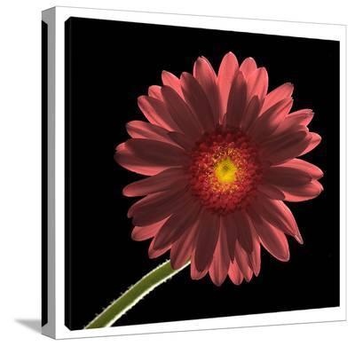 Gerber Daisy 1-Barry Seidman-Gallery Wrapped Canvas