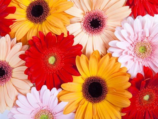 Gerbera daisies-Frank Lukasseck-Photographic Print