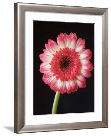 Gerbera Daisy on Dark Background-Clive Nichols-Framed Photographic Print