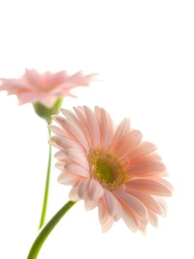 Gerbera daisy-Kiyoshi Miyagawa-Photographic Print
