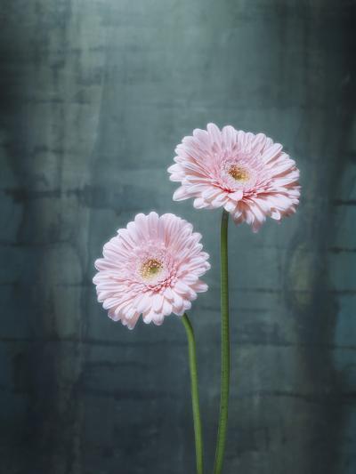 Gerbera, Flowers, Blossoms, Pink, Still Life-Axel Killian-Photographic Print