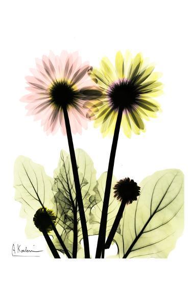 Gerbera in Color-Albert Koetsier-Art Print