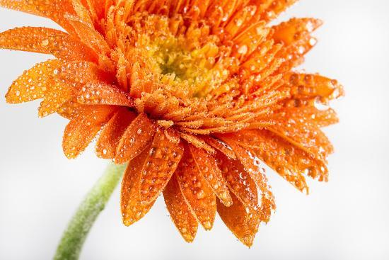Gerbera in Orange-Uwe Merkel-Photographic Print