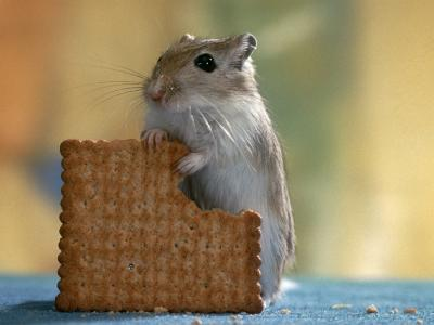Gerbil Eating Biscuit-Steimer-Photographic Print