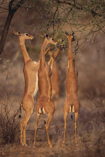 Gerenuk Feeding on Acacia Trees-DLILLC-Photographic Print