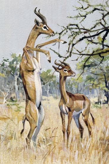 Gerenuk or Giraffe-Necked Antelope (Litocranius Walleri), Bovidae--Giclee Print