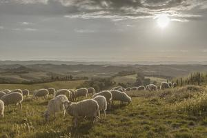 Europe, Italy, Tuscany, Near Siena, Le Crete, Flock of Sheep, Back Light Photography by Gerhard Wild