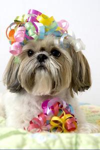 Shih Tzu Dog by Geri Lavrov