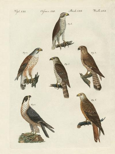 German Birds of Prey--Giclee Print