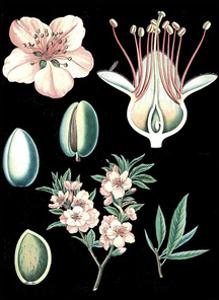 German Educational Plate: Prunus amygdalus