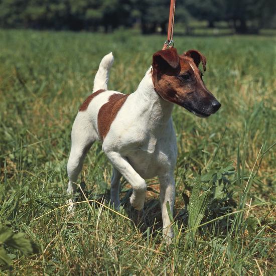 German Hunting Dog--Photographic Print