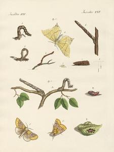 German Phalaena Moths